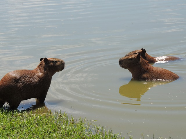 Capybara Are They Dangerous