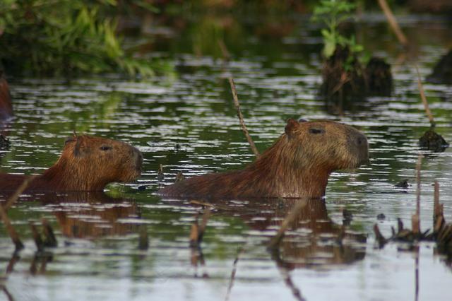 about capybara