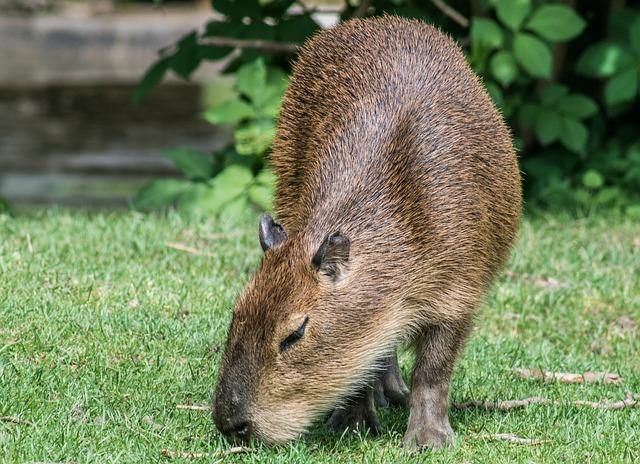 capybara eating
