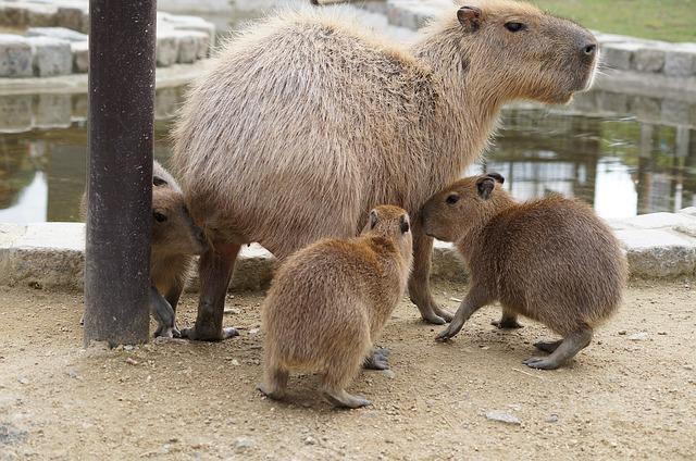 family capybara