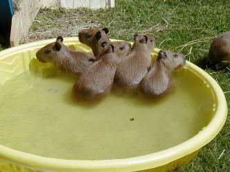 baby capybaras swimming