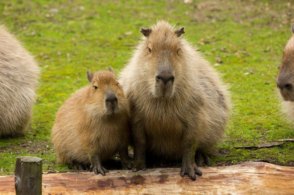 cute baby capybara